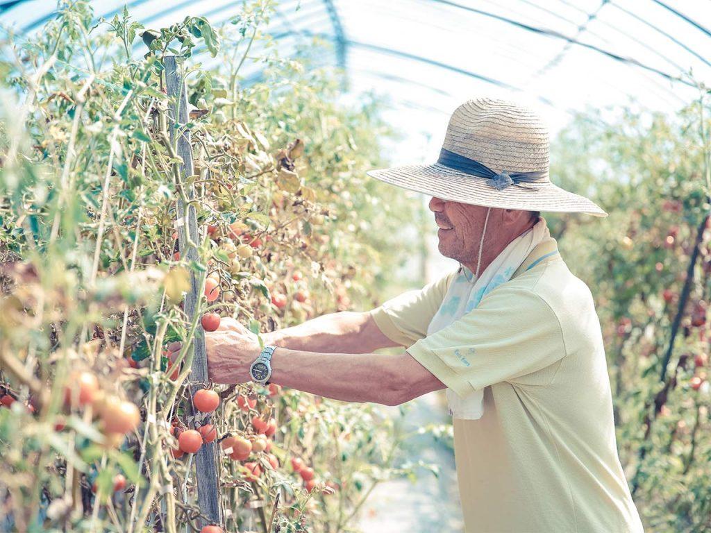 富海のフルーツトマトづくり